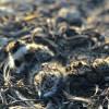 Weidevogelnestbescherming rondom Sleen